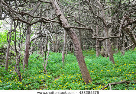Pacific Yew Stock Photos, Royalty.