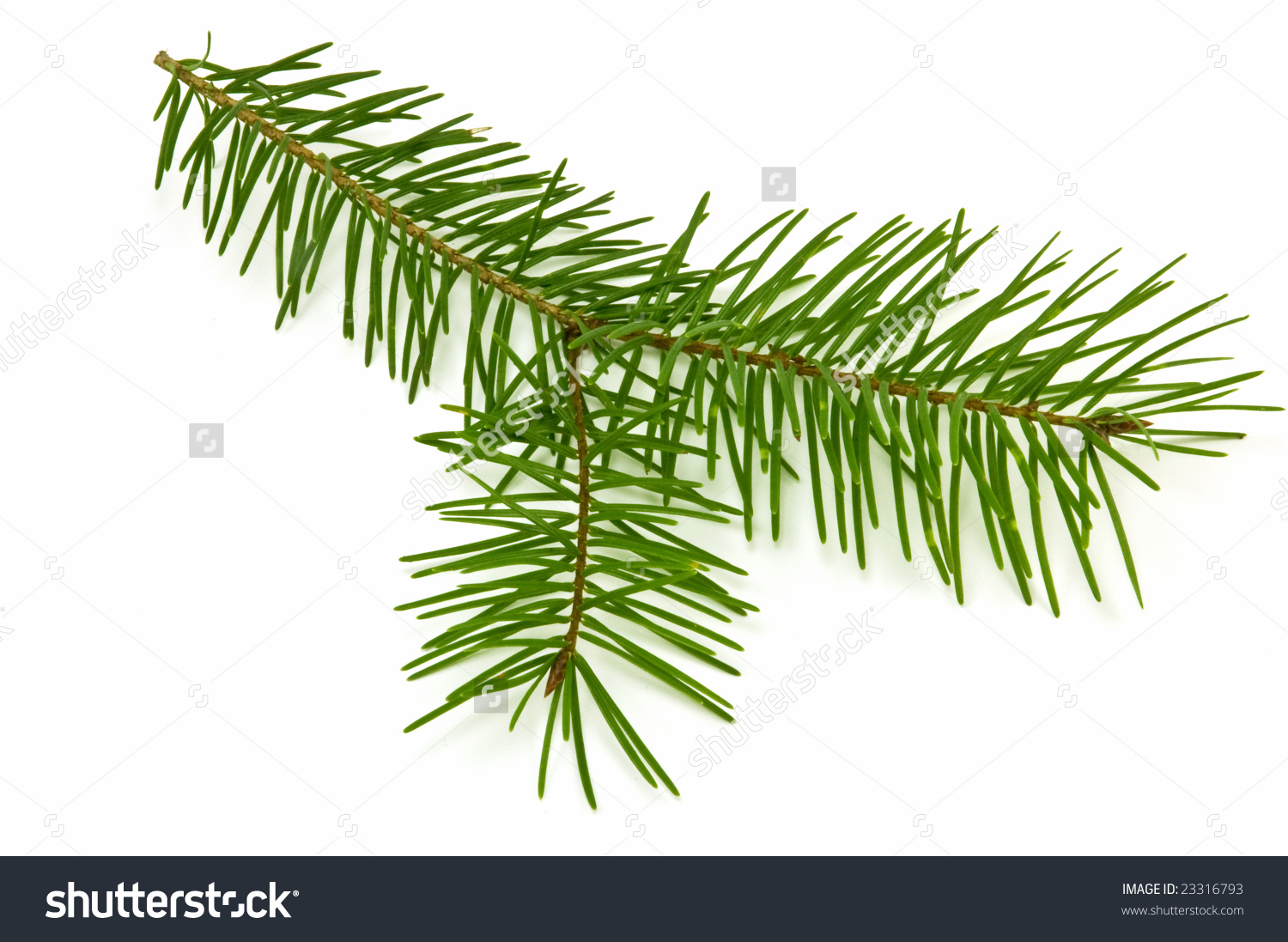 Small Branch Pacific Yew Tree Found Stock Photo 23316793.