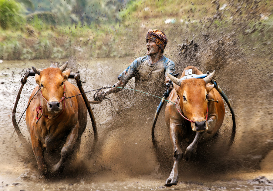 Pacu means the race speed and Jawi mean cow or ox. In West Sumatra.