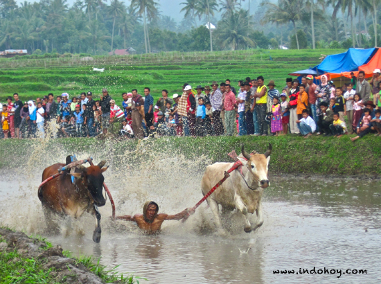 Pacu Jawi, the Cow Race in West Sumatra Where Tail Biting Is.