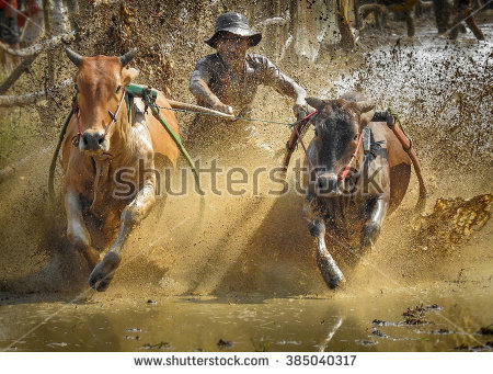Pacu Jawi Stock Photos, Images, & Pictures.