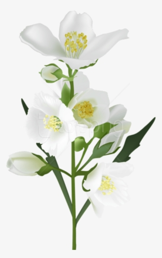 Jasmine Flower PNG, Free HD Jasmine Flower Transparent Image.