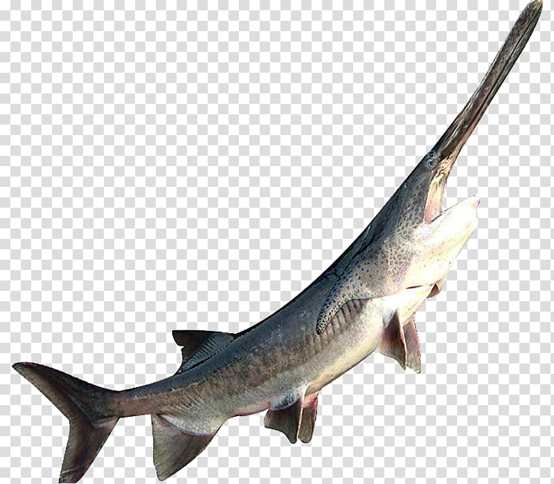 American paddlefish Sturgeon Shark Seafood, Duckbill fish.