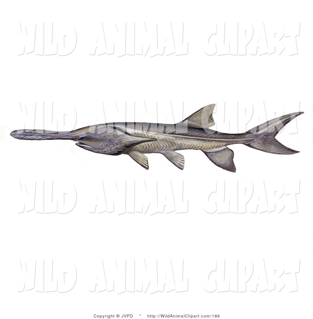 Clip Art of an American or Mississippi Paddlefish (Polyodon.