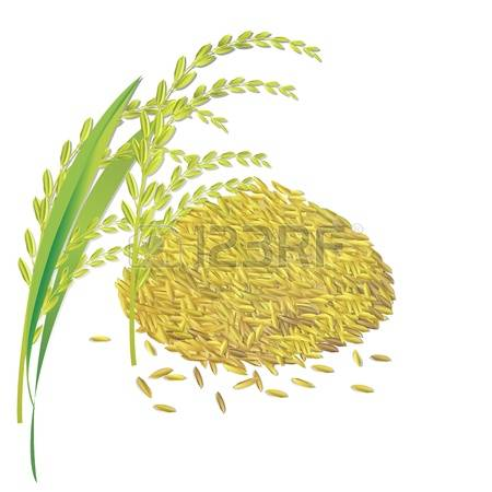 678 Rice Paddy Stock Vector Illustration And Royalty Free Rice.