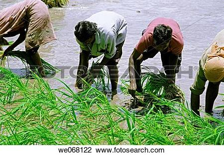 Stock Photo of People working in a paddy field of rice crop to.