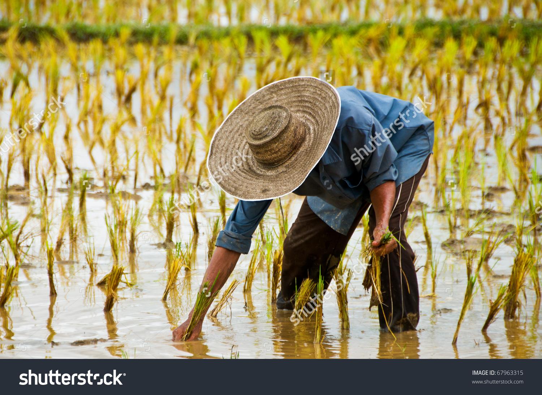 Farmers Planting Rice Farm Stock Photo 67963315.