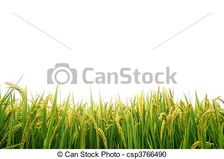 Stock Photography of Paddy field in autumn csp3766490.