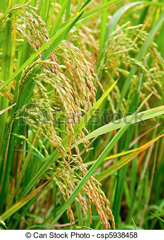 Pictures of Rice paddy.