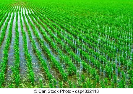 Paddy field clipart.