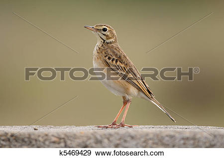 Stock Photograph of Paddy field pipit k5469429.