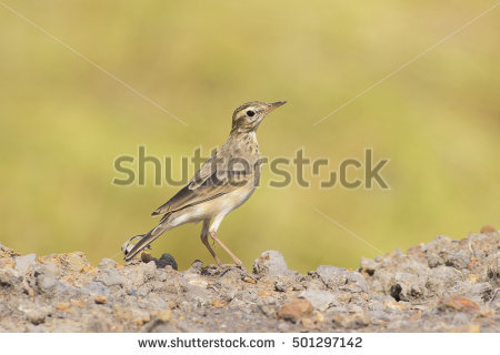 Pipit Stock Photos, Royalty.