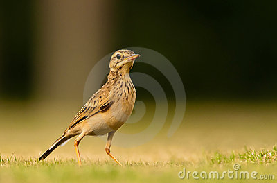 Paddy Field Pipit Stock Images.