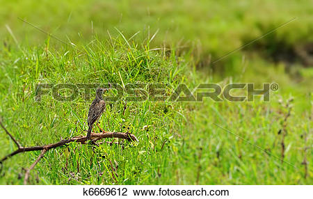 Stock Photo of A Paddyfield Pipit with its catch k6669612.
