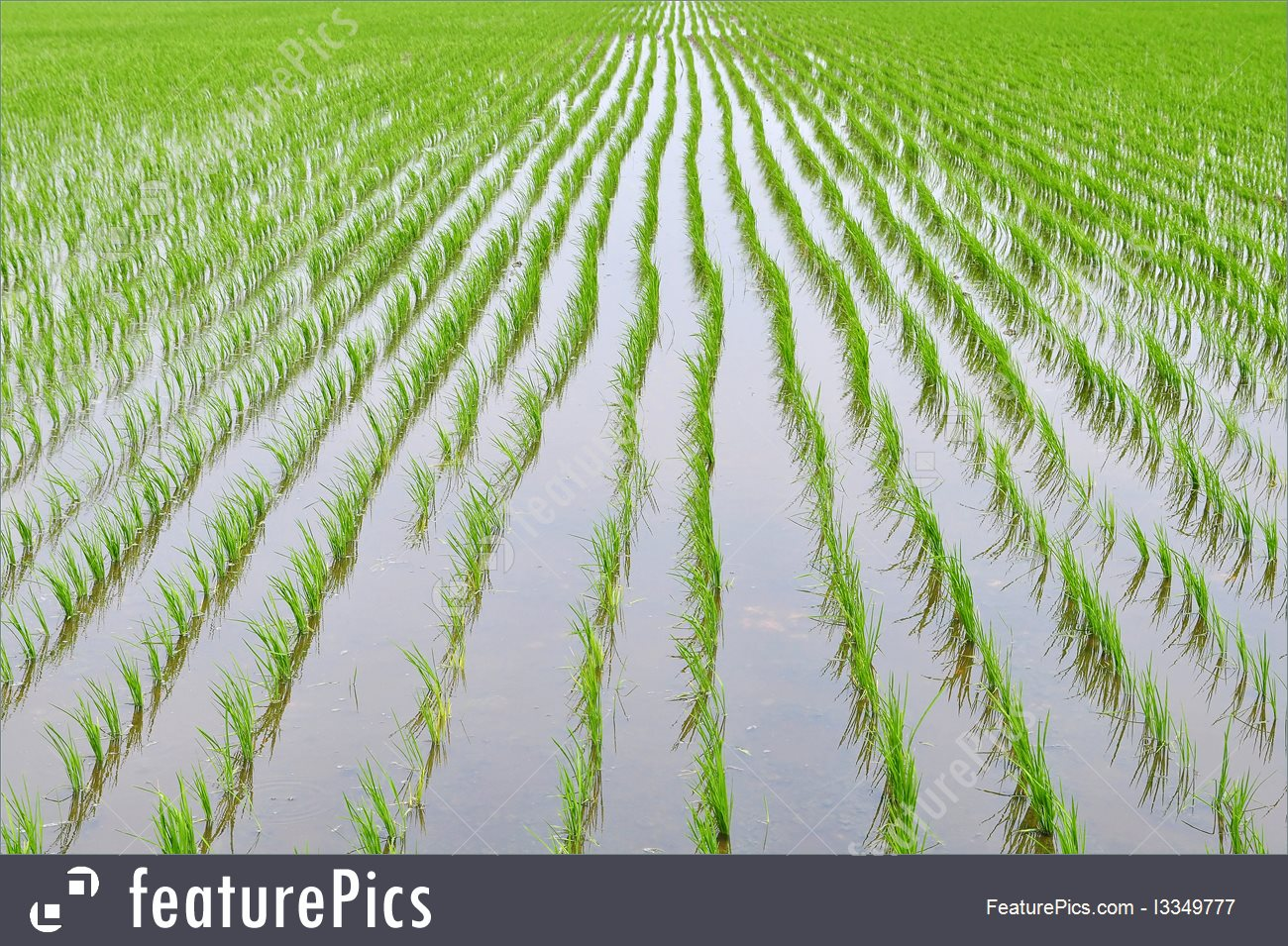 Picture Of Paddy Fields.