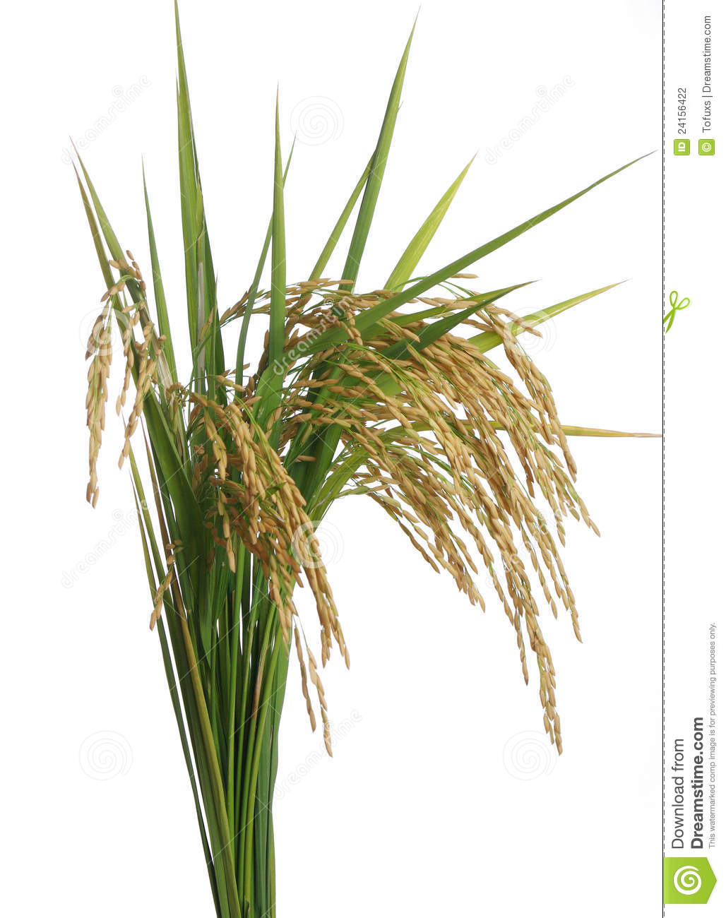 Rice paddy clipart.
