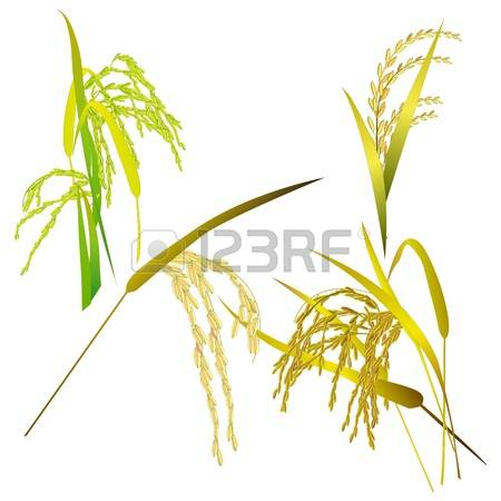 2,059 Rice Harvest Cliparts, Stock Vector And Royalty Free Rice.