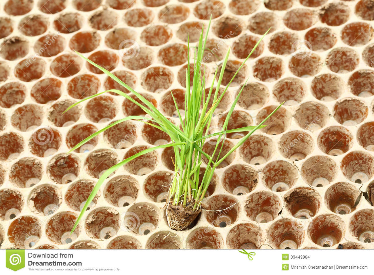 Rice Seedlings Nursery Stock Photos, Images, & Pictures.