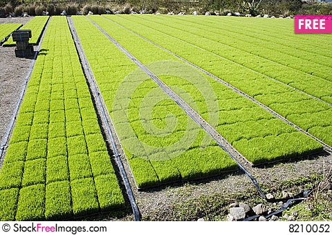 Rice Seedlings At A Nursery.