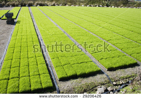 Rows On Rows Of Rice Seedling. They Are Grown Outside The Paddy.