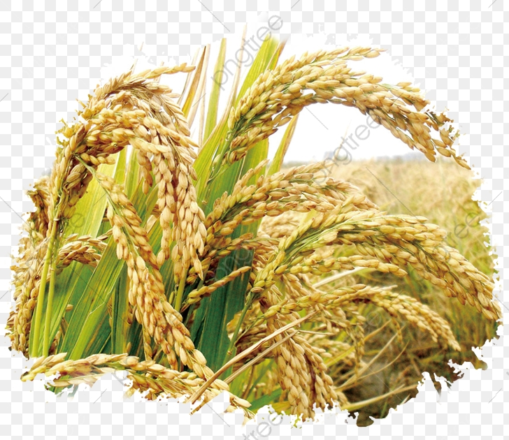 Rice Publicity, Food, Rice, Paddy PNG Transparent Clipart.
