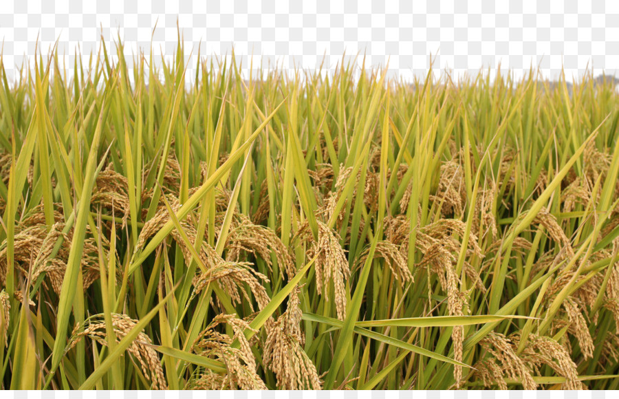 Download Free png Rice Paddy Field Rice paddy png download.