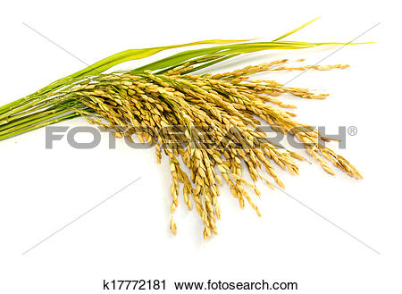 Stock Photography of paddy rice seed. k17772181.