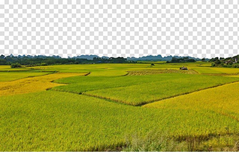 Rice gadu Foxtail millet, Endless rice transparent.