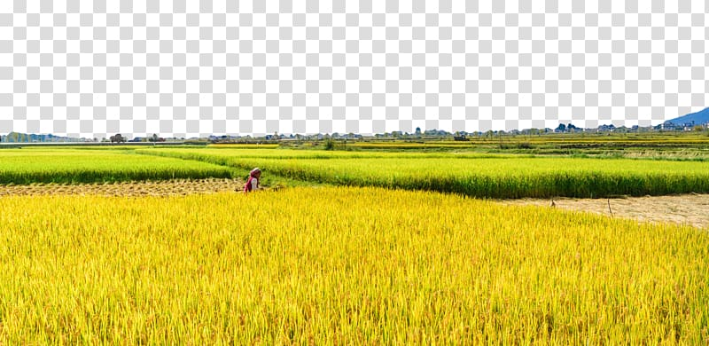 Man standing on rice field under blue sky, Paddy Field Rice.