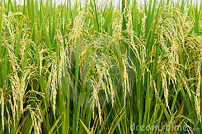 Rice Padi Royalty Free Stock Images.