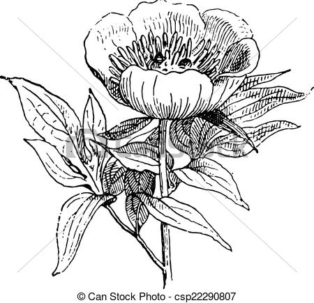 Vector Clipart of Paeonia or Peony, vintage engraving..