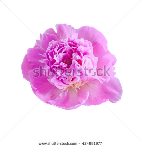 Paeonia Macro Peony Pink Stock Photos, Royalty.