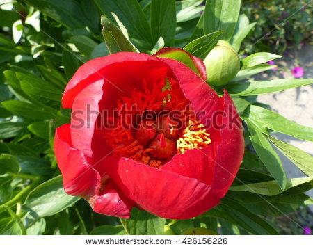 Paeoniaceae Banco de imágenes. Fotos y vectores libres de derechos.