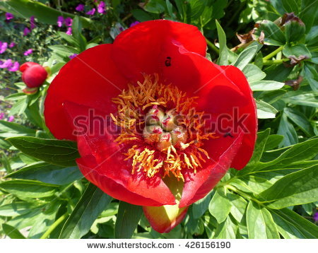 Paeonia Stock Photos, Royalty.