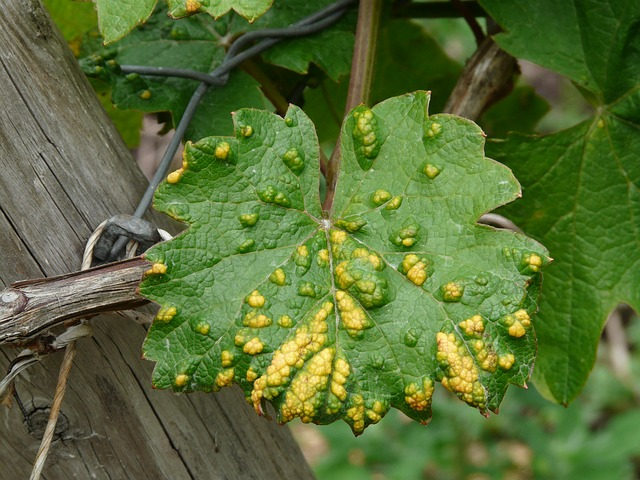 Free photo: Wine Leaf, Smallpox Mite.