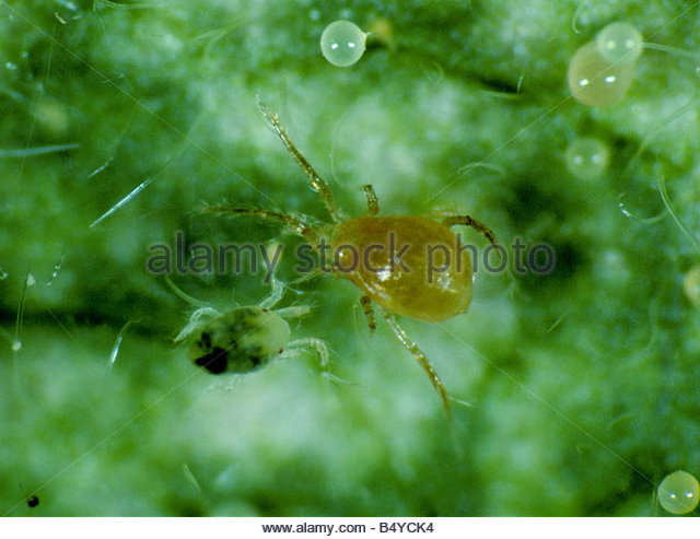 Mite Acari Stock Photos & Mite Acari Stock Images.