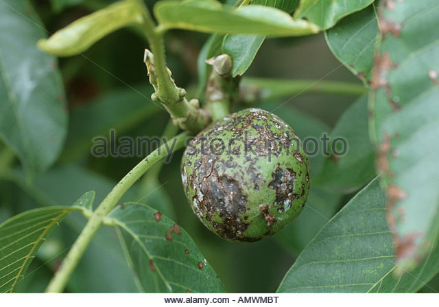 Walnut Pest Stock Photos & Walnut Pest Stock Images.
