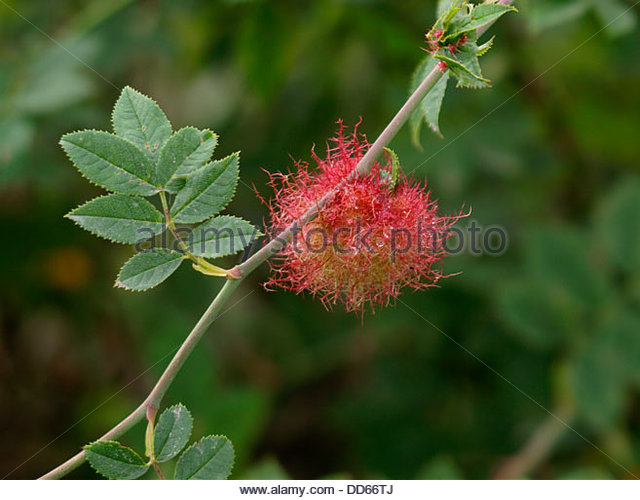 Gall Stock Photos & Gall Stock Images.