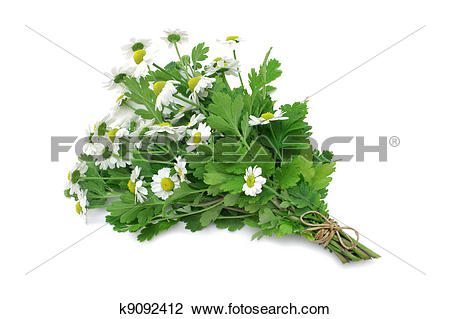 Stock Photo of Herb Series Feverfew k9092412.