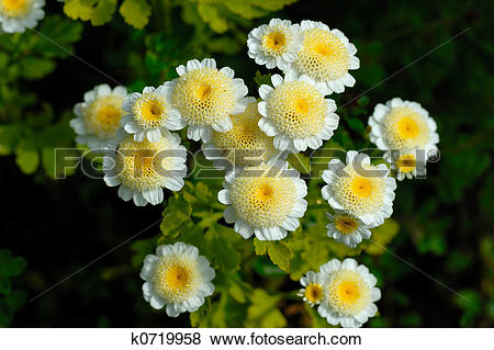 Pictures of Feverfew blooms k0719958.