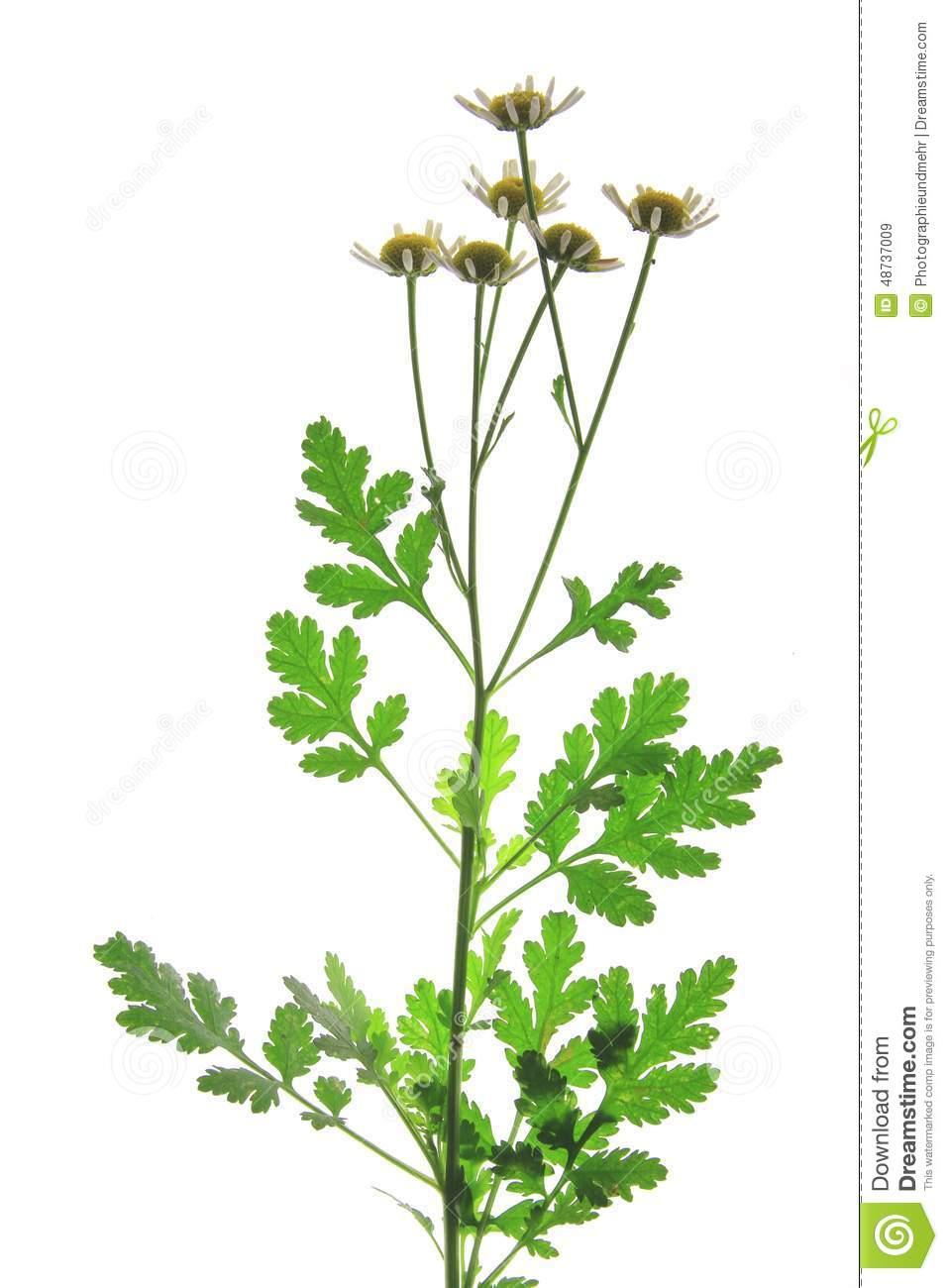 Feverfew (Tanacetum Parthenium) Stock Illustration.