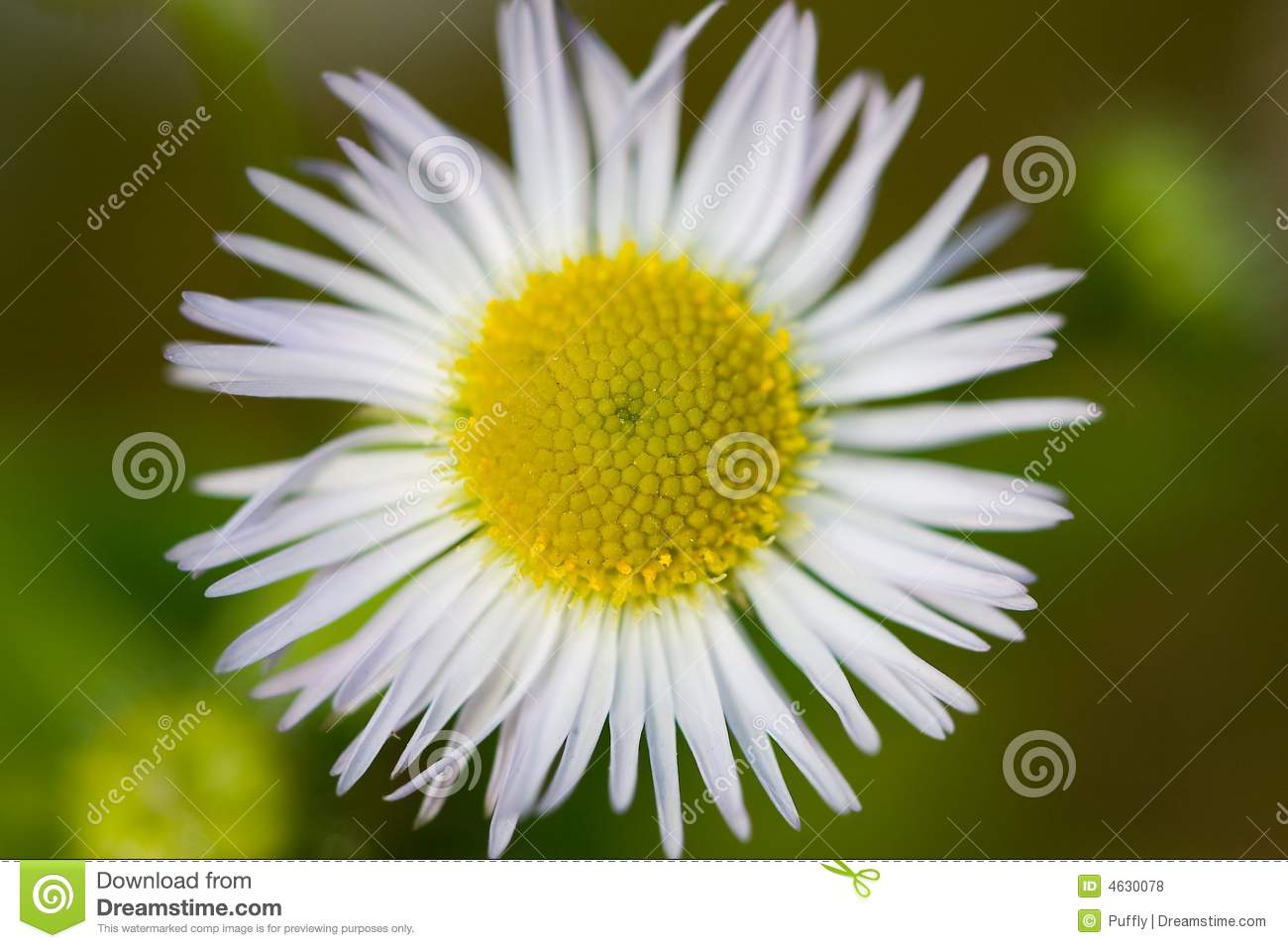 Flower Of Feverfew In Wild Royalty Free Stock Photos.