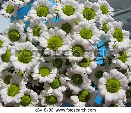 Stock Photo of Feverfew, Chrysanthemum maiden or matrikariya.