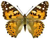 Butterfly Isolated Stock Illustrations.