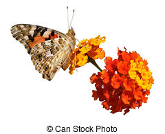 Painted lady butterfly Clipart and Stock Illustrations. 135.