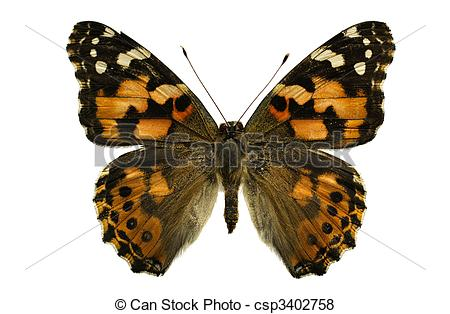 Pictures of Painted Lady butterfly.