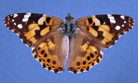 Painted Lady Butterflies ~ Butterfly Beautiful Pictures.