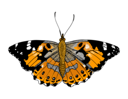 Painted Lady Butterfly   Illustrated One Illustration A Day.