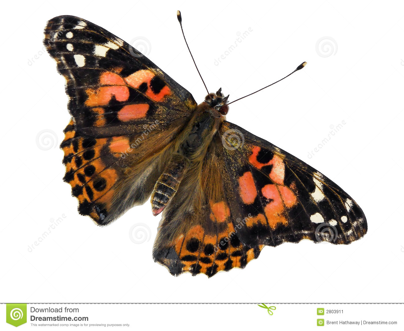 Painted lady butterfly clipart - Clipground