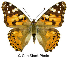 Painted lady Clipart and Stock Illustrations. 5,732 Painted lady.